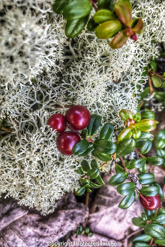 Cranberry picking