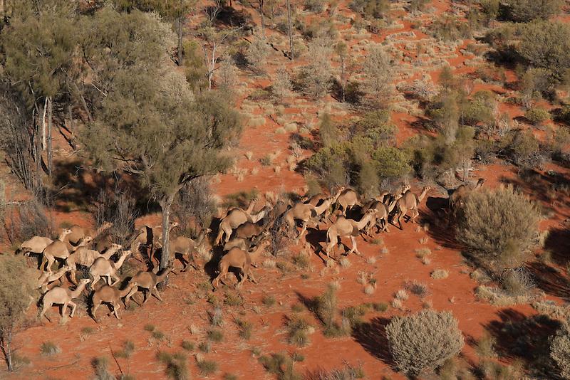 Wild Camels in the Australian desert, aerial,  Central Australia, Northern Territory, Australia.