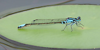 Lilypad Forktail (Ischnura kellicotti) Damselfly - Male, Promised Land State Park, Greentown, Pike County, Pennsylvania