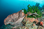 Serua Island, Banda Sea, Indonesia; a large pink tube sponge contrasts with the bright green black sun corals growing near the top of a wall