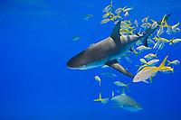 Caribbean reef shark, Carcharhinus perezii, and yellowtail snapper, Ocyurus chrysurus, West End, Grand Bahamas, Bahamas, Caribbean Sea, Atlantic Ocean