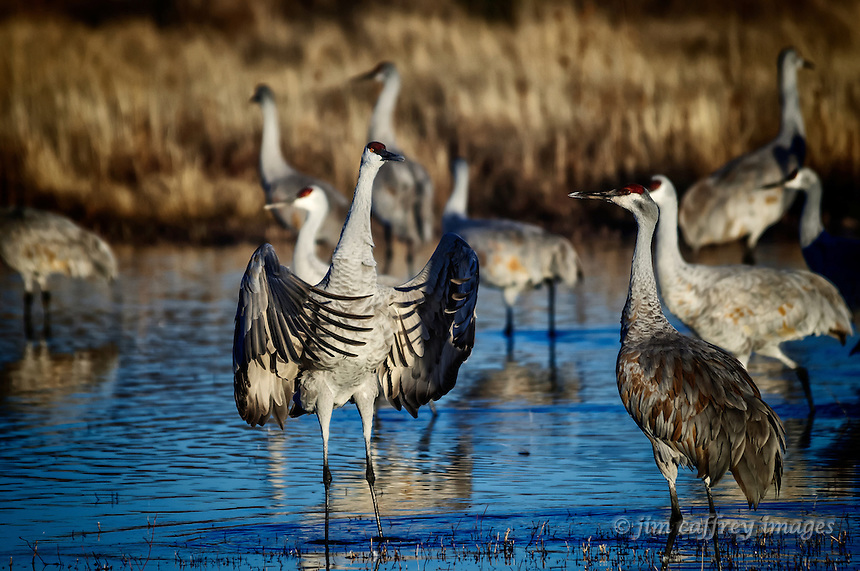 A Sandhill Crane spreading his wings while appearing to be in a debate with another crane at Bosque del Apache National Wildlife Refuge.