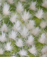 """1202-0849  Whitespine Pricklypear, Detail of White Spiny Bristles Called Glochids, Opuntia microdasys """"Albispina""""  © David Kuhn/Dwight Kuhn Photography"""