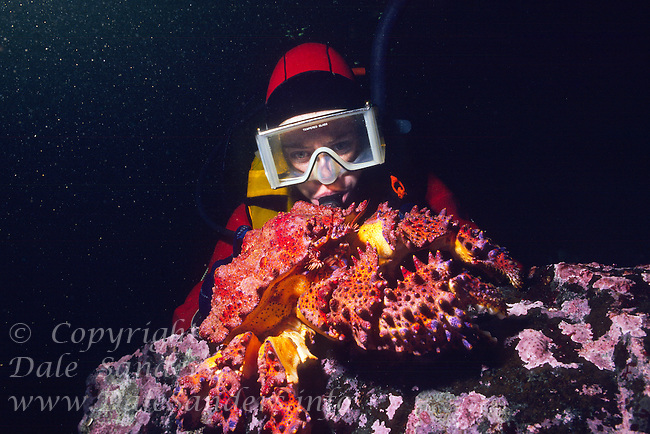 Diver observes a large Puget Sound King Crab  (Lopholithodes mandtii) underwater in the Strait of Georgia, British Columbia, Canada.