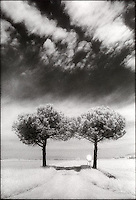 Twin trees along a road<br />