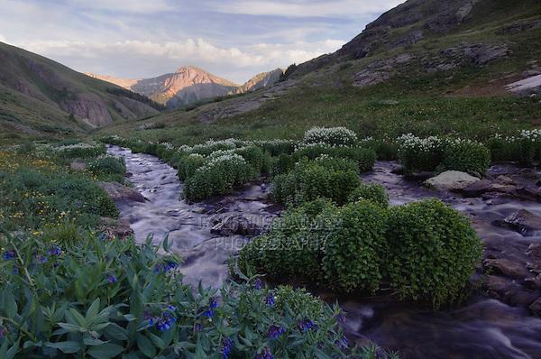 Mountain stream and wildflowers, Bluebells,Mertensia ciliata,Bittercress,Cardamine cordifolia, Ouray, San Juan Mountains, Rocky Mountains, Colorado, USA, July 2007