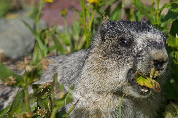 Hoary Marmot (Marmota caligata) eating plant leaf.  Western U.S., Sept.