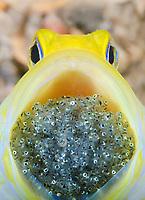 yellowhead jawfish, Opistognathus aurifrons, male, mouthbrooding eggs, Blue Heron Bridge, Riviera Beach, Florida, USA, Caribbean Sea, Atlantic Ocean