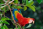 Scarlet Macaw (Ara macao) in forest canopy close to a clay lick. Manu Biosphere Reserve, Amazonia, Peru.