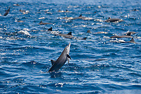 Central American Spinner Dolphins, Stenella longirostris centroamericana, this is part of a super pod of over 2,000 individuals, Costa Rica, Pacific Ocean