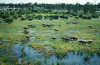 Wild Buffalo Herd crossing the swamp lands in the Top End of the Northern territory, Australia