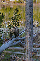 Grizzly Bear (Ursus arctos) walking fall log along lake shore.  Rocky Mountains, U.S., early summer.