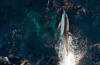 Bird's eye view of breaching porpoise, riding the pressure wave of a ships bulbous bow.  Grey shadows below the water's surface are more porpoises.