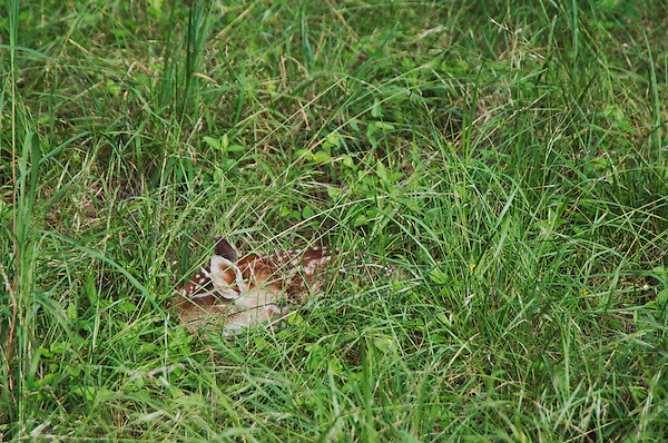 White-tailed Deer, Odocoileus virginianus, young fawn in grass camouflaged, Comal County, Hill Country, Texas, USA, June 2007