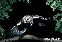OW07-005z  Saw-whet owl - flying - Aegolius acadicus