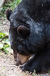 American black bear facing left close-up of face, vertical.