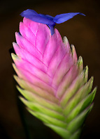Close up of Bromeliad flower. Kauai, Hawaii
