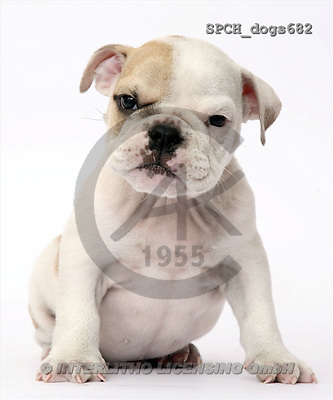 Xavier, ANIMALS, dogs, photos(SPCHdogs682,#A#) Hunde, perros