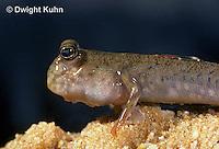 ME04-076z  Mudskipper on mud - Periophthalmus sp.