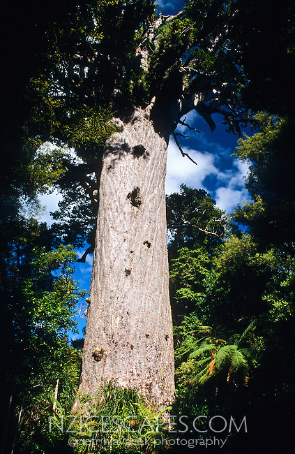 """Tane Mahuta - """"Lord of the Forest"""" - largest NZ Kauri tree well over 1000 years old - Waipoua Kauri Forest, Northland, New Zealand"""