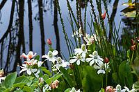 Anemopsis californica, Yerba Mansa flowering in bog with Triglochin maritima (Seaside Arrowgrass); California native plant in Regional Parks Botanic Garden, Berkeley, California