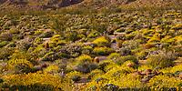 Evening light on the Sonoran Desert Glorieta Canyon - Anza Borrego State Park, superbloom March 22, 2017 with Encelia farinosa, Brittlebush flowering shrub and Barrel Cactus