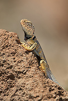 414390012 a wild great basin or desert collared lizard crotaphytus insularis bicinctores perches on a rock along chalk bluff road north of bishop inyo county california united states