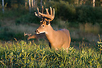 White-tailed buck