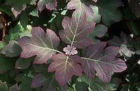Hydrangea quercifolia Oak-leaf Hydrangea shrub closeup of serveral colorful leaves in autumn fall