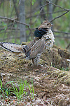 Ruffed grouse (Bonasa umbellus) standing on his drumming log