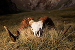 Argali (Ovis ammon) ram skull in canyon, Pikertyk, Tien Shan Mountains, eastern Kyrgyzstan