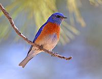 Adult male western bluebird in pine tree