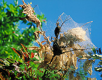caterpillar tent in tree showing damage to trees. North Carolina, Blue Ridge Parkway.