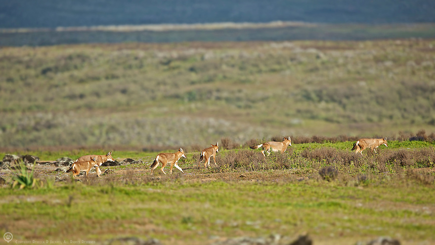 Six members of the Tarura pack leave the den site to  patrol their territory boundaries before they split off to hunt alone.