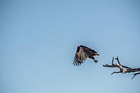 Africa, Botswana, Okavango Delta, Khwai private  reserve.African fish eagle.
