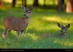 Mule Deer at Sunset in Spring, Black-tailed Deer, Odocoileus hemionus, Wawona Meadow, Yosemite National Park