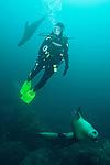 Sea of Cortez, Baja California, Mexico; a scuba diver swimming with California Sea Lions (Zalophus californianus)