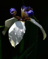 CALI-COLOMBIA-15-01-2013. Flor de Orquidea colombiana, Colombian orchid flower. (Photo: VizzorImage/Luis Ramirez)
