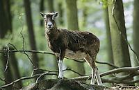 Mufflon, Muffelwild, Muffel-Wild, Muffel, Ovis musimon, Ovis aries musimon, Ovis gmelini musimon, mouflon
