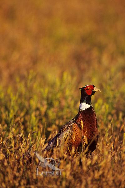 Male ring-necked pheasant or Common Pheasant (Phasianus colchicus), Western U.S.