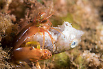 Dumaguete, Dauin, Negros Oriental, Philippines; a small, red mantis shrimp feeding on a fish head at the entrance to it's burrow