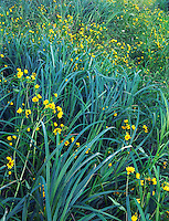 Wetland with nodding bur marigold, Iowa