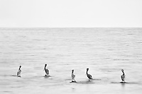 Pelicans standing on rocks. Salton Sea State Recreation Area. California