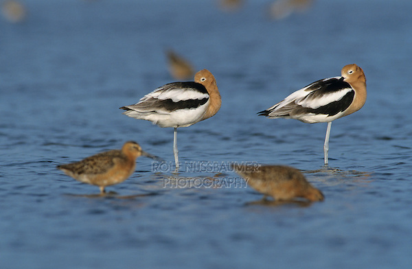 American Avocet, Recurvirostra americana, adults resting breeding plumage, Bolivar Flats, Texas, USA, May 2005