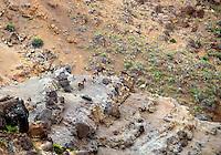 Wild goats. Waimea Canyon.Koke'e State Park. Kauai, Hawaii