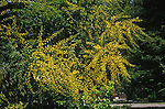 10612-CB Goldenrain Tree, Koelreuteria paniculata, flower panicles, foliage, at Visalia, CA