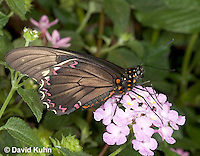 0403-08rr  Polydamas swallowtail, Battus polydamus, South and Central America © David Kuhn/Dwight Kuhn Photography
