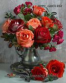 Alfredo, FLOWERS, BLUMEN, FLORES, photos+++++,BRTOLMN31852,#f#, EVERYDAY ,rose,roses