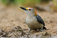 Adult male Golden-fronted Woodpecker (Melanerpes aurifrons) of the subspecies M. a. aurifrons foraging on the ground. Starr County, Texas. march.