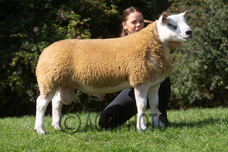 1.9.2020 Texel Sheep Society English National Sale<br /> Lot 338 Sportsman Deisel owned by Boden & Davies Ltd sold for 5200 gns<br /> ©Tim Scrivener Photographer 07850 303986<br />      ....Covering Agriculture In The UK.